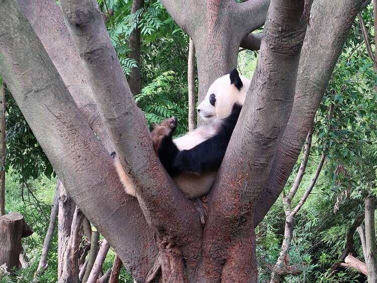 Seeing pandas is one of the benefits of teaching in China that no on tells you about