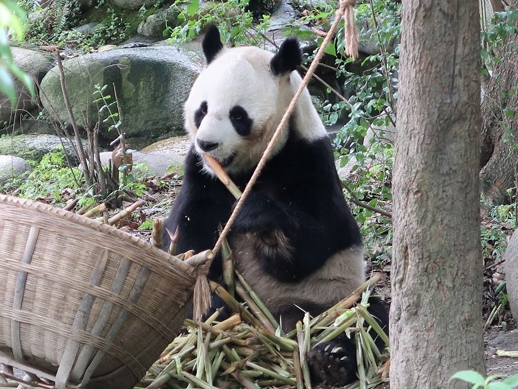 Chengdu is popular with tourists thanks to the panda sanctuary