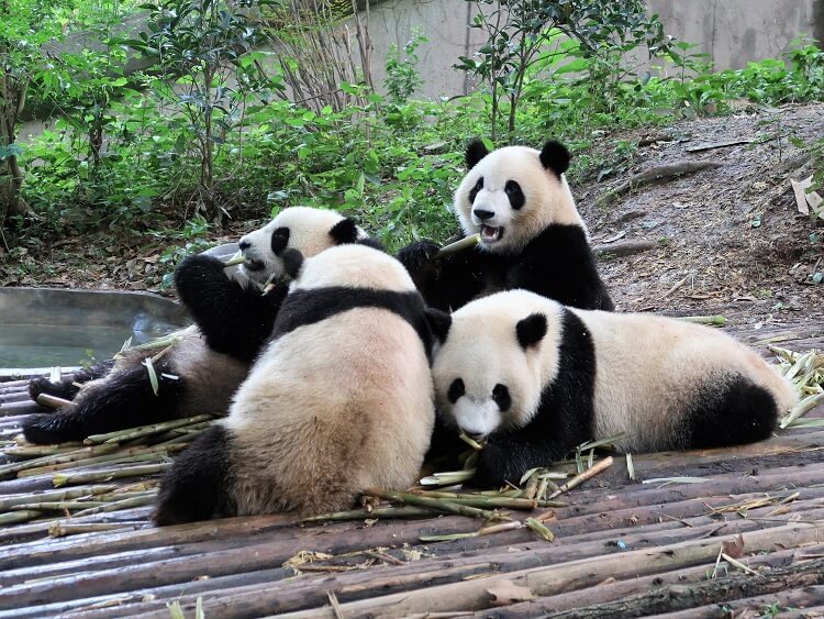 Most tourists visit the panda sanctuary in Chengdu