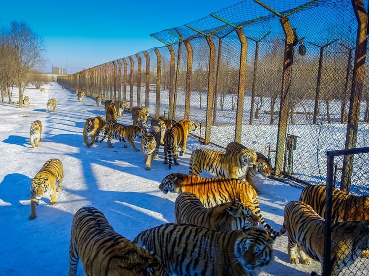 Siberian Tiger Park in winter
